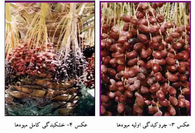 علایم چروکیدگی میوه ها در اثر عارضه خشکیدگی خوشه ها