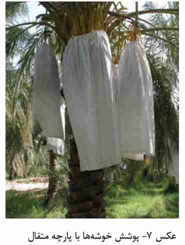 پوشش خوشه های خرما با پارچه