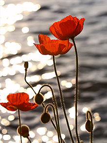 http://s8.picofile.com/file/8282147592/220px_Poppies_in_the_Sunset_on_Lake_Geneva.jpg