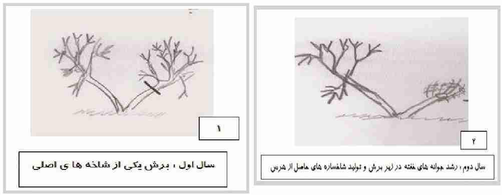 دوباره جوان سازی درختان چند ساله
