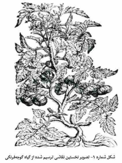 قدیمی ترین نقاشی کشیده شده از گوجه فرنگی