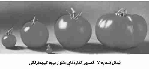 اندازه های متنوع میوه گوجه فرنگی