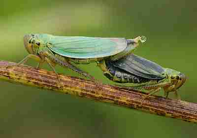 Cicadella viridis L