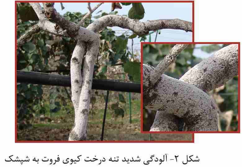 آلودگی شدید تنه درخت کیوی فروت به شپشک