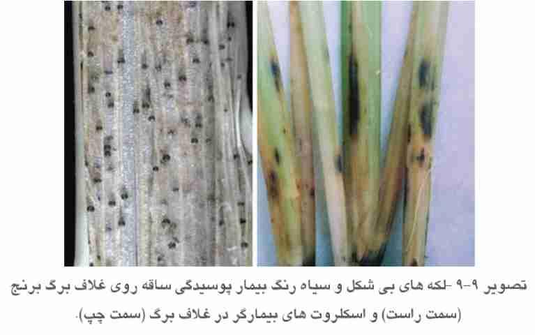 علایم بیماری پوسیدگی ساقه برنج