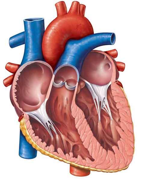 فیزیولوژی و اناتومی قلب