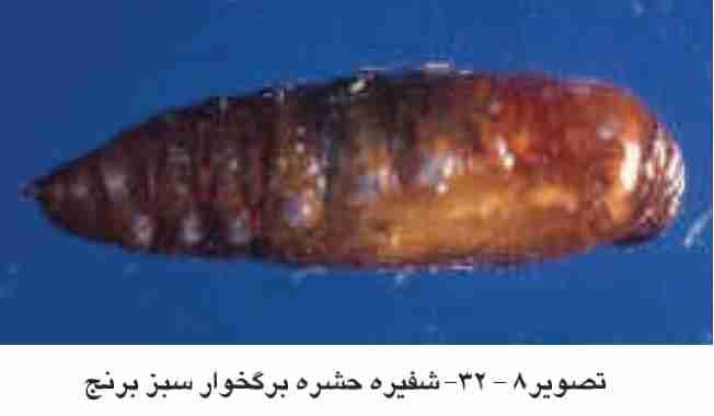 شفیره  Naranga aenescen (Moore)