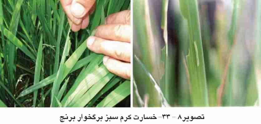 خسارت کرم برگخوار سبز برنج