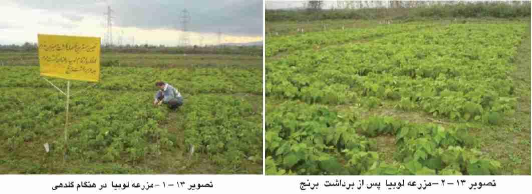 مزرعه لوبیا پس از برداشت برنج