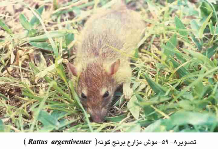 کنترل موش در شالیزار