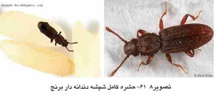 حشره کامل شپشه دندانه دار برنج ( Sawtoothted Grain Beetle )