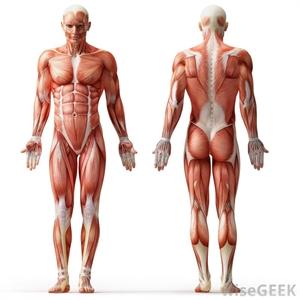 فیزیولوژی دستگاه عضلانی و عصبی
