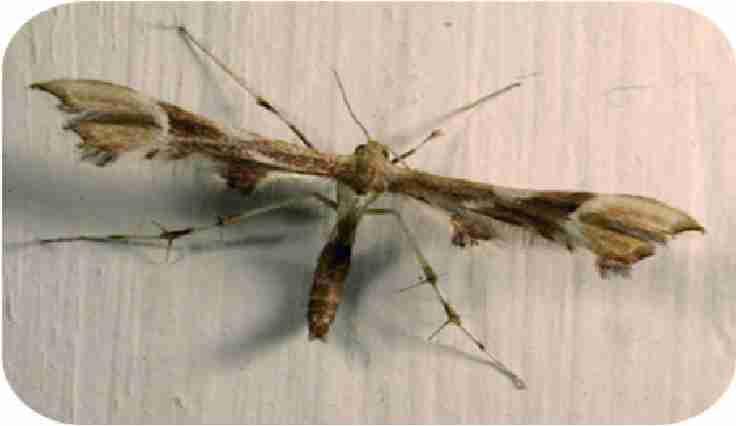 شب پره جوانه خوار سبز گل محمدی Eucnaemidophorus rhododactylus