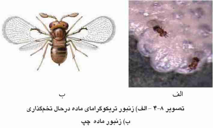 زنبور تریکوگراما
