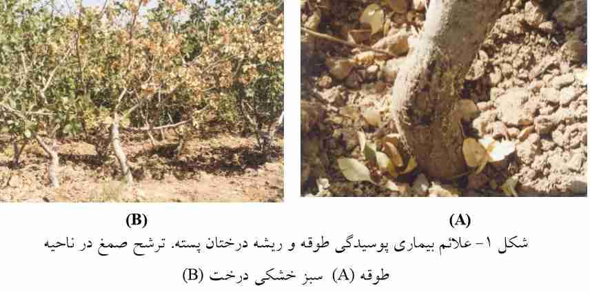 علایم بیماری پوسیدگی طوقه و ریشه درختان پسته