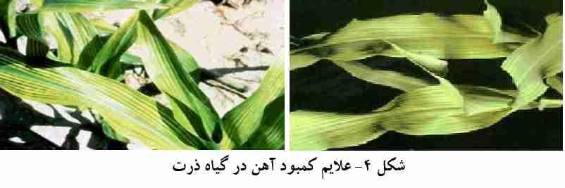علایم کمبود آهن در گیاه ذرت