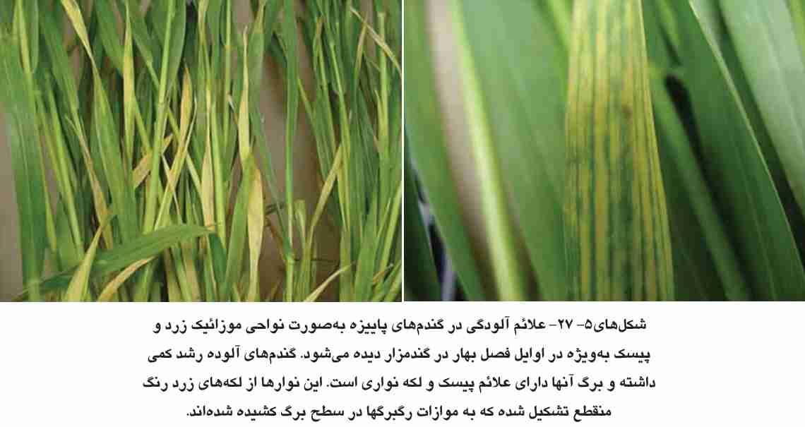علایم آلودگی به ویروس موزاییک رگه ای گندم در گندمهای پاییزه