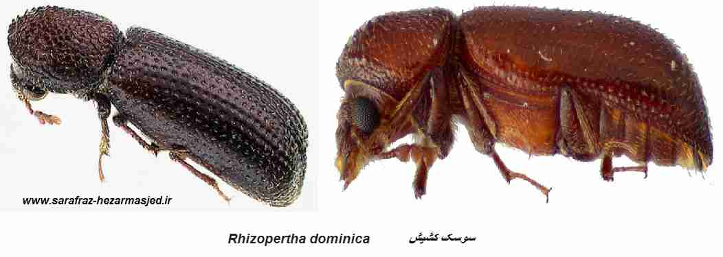 سوسک کشیش Rhizopertha dominica