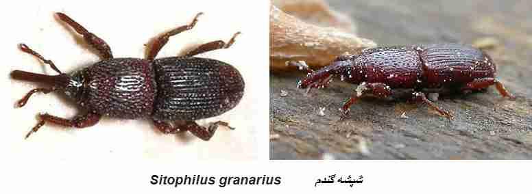شپشه گندم Sitophilus granarius