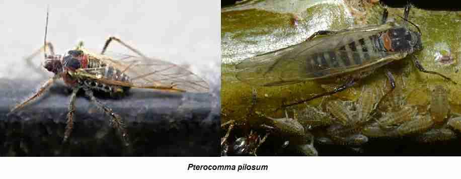 Pterocomma pilosum