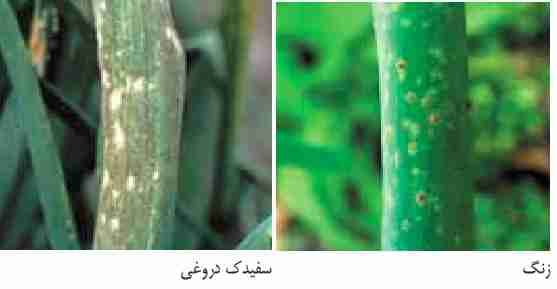 سفیدک دروغی Downy mildew - زنگ پیاز Rust