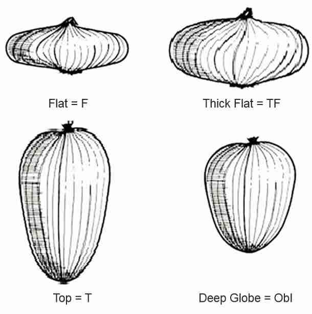 شکل پیازهای مختلف