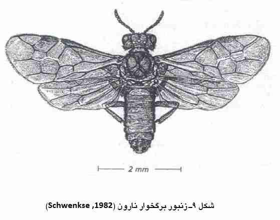 زنبور مینوز برگ نارون Fenusa ulmi Sundevall