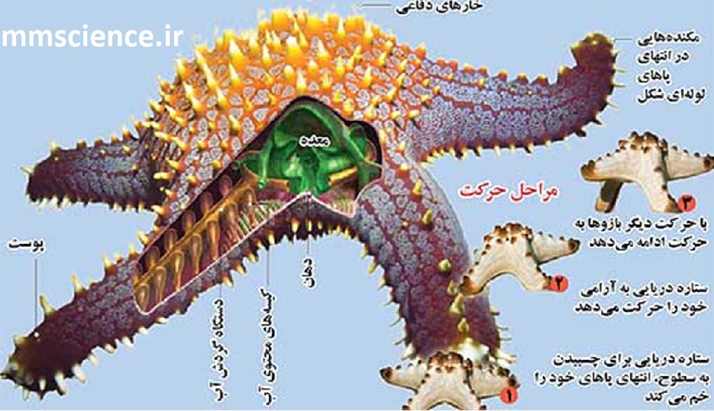 بدن ستاره دریایی