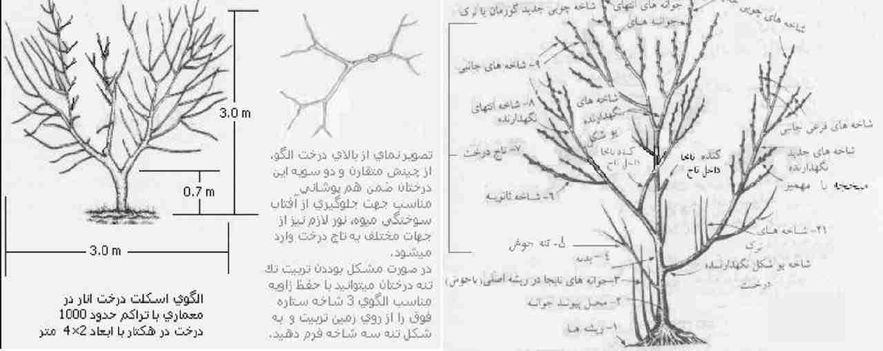 هرس درختان انار