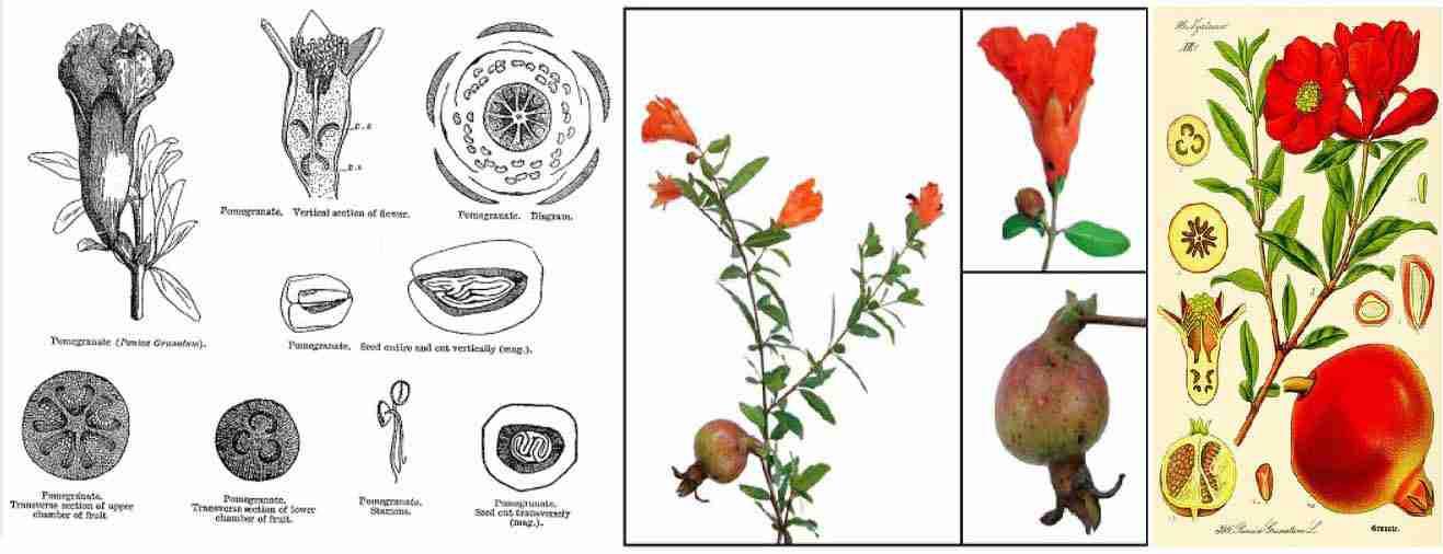 گیاهشناسی انار