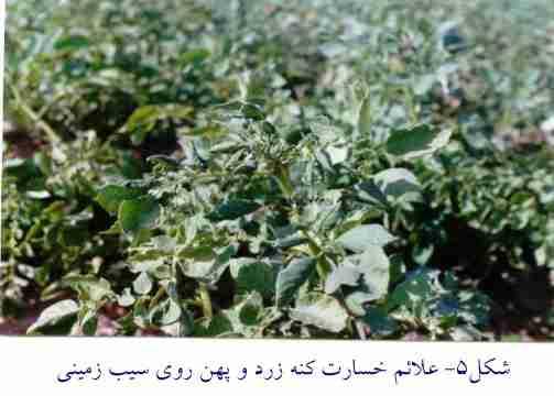 علایم خسارت کنه زرد و پهن روی سیب زمینی ( Polyphagotarsonemus latus Banks )