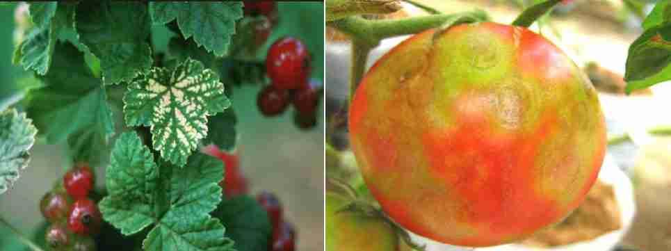 ویروس لکه حلقوي گوجه فرنگی