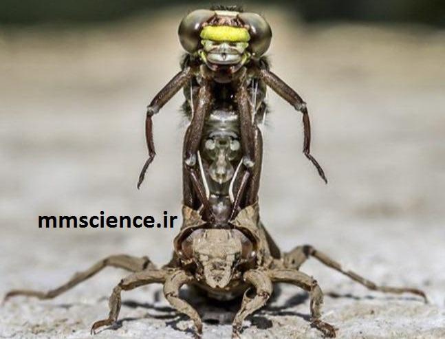 پوست اندازی حشرات