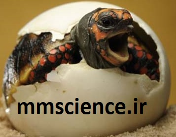 تخم لاکپشت