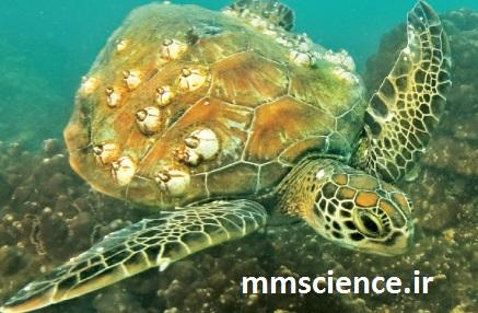لاکپشت مزیبان انگل