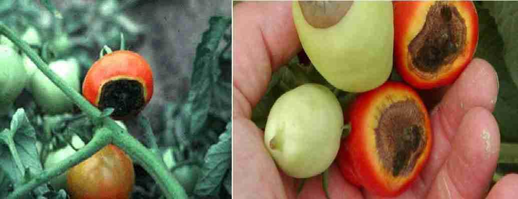 پوسیدگی گل گاه گوجه فرنگی