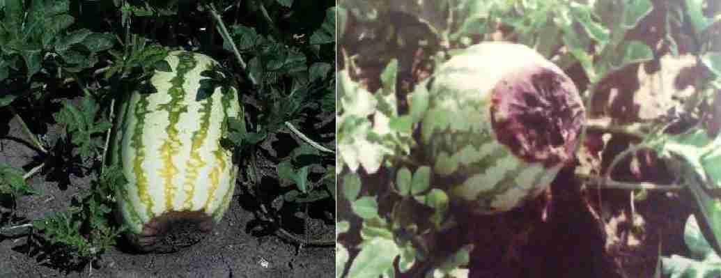 پوسیدگی گل گاه هندوانه