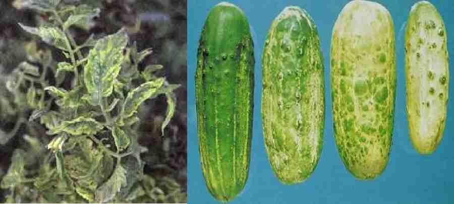موزائیک خیار ( Cucumber mosaic virus  )