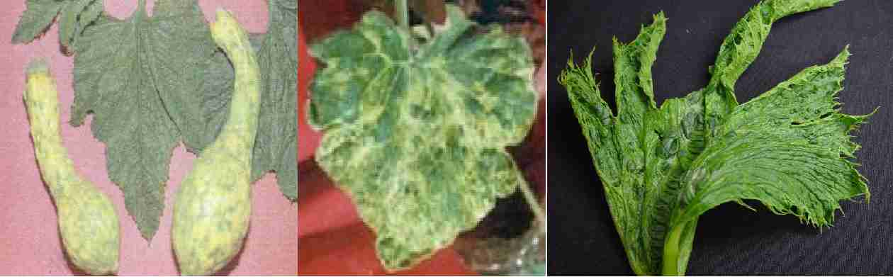 موزائیک کاهو ( Squash mosaic virus )