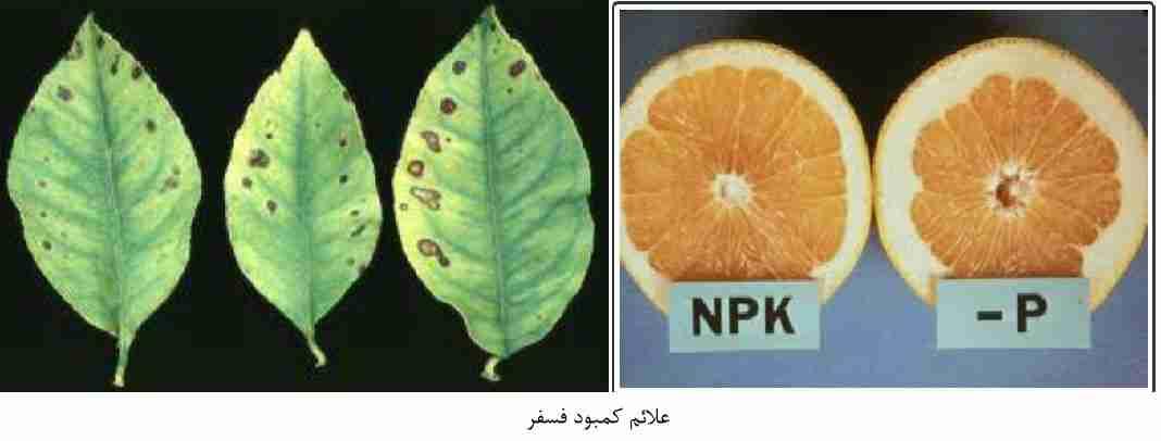 علایم کمبود فسفر در مرکبات