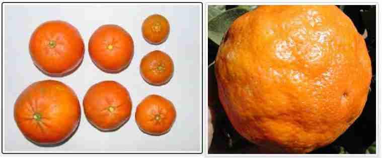 کمبود پتاسیم در میوه مرکبات