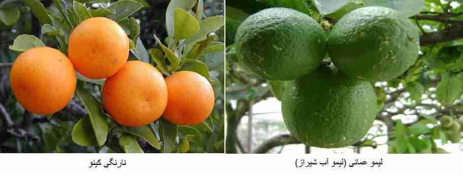 ( نارنگی کینو((Kinnow ) - ( لیمو عمانی (لیمو آب شیراز) Key (Mexican) lime )