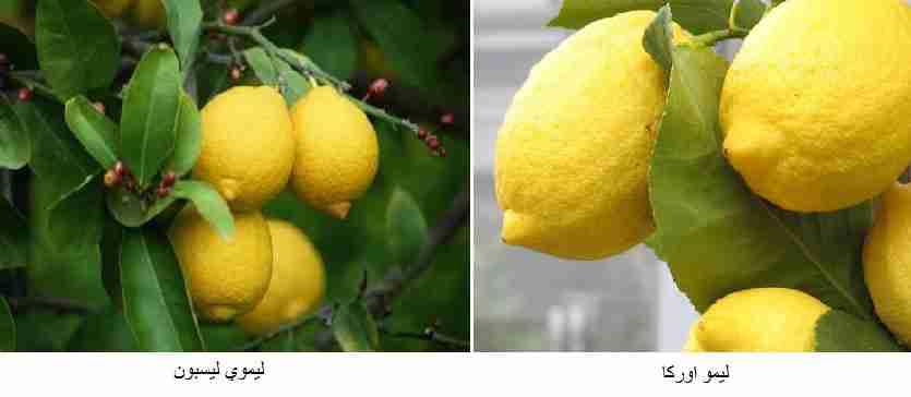 ( لیموي لیسبون (Lisbon lemon) ) - ( لیمو اورکا (Eureka lemon) )
