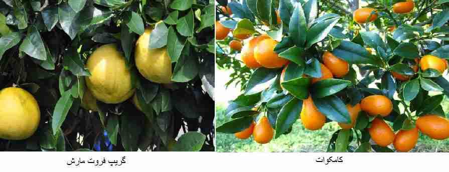 ( گریپ فروت مارش (Marsh) ) - ( کامکوات (Kumquat) )