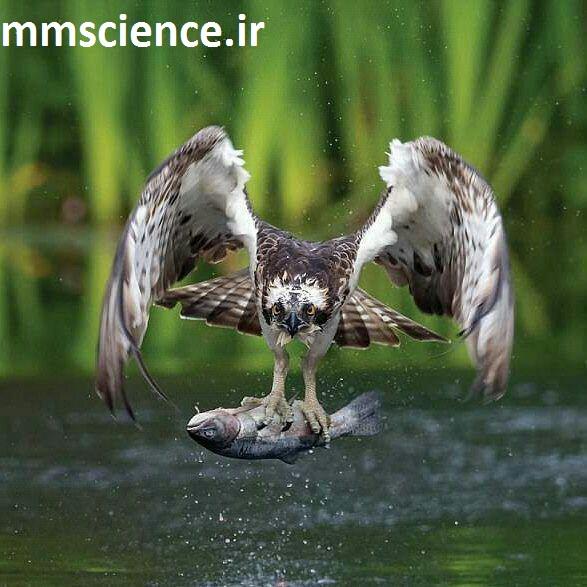 شکار کردن عقاب