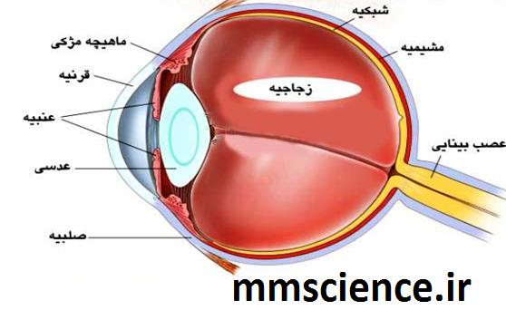 آناتومی داخلی چشم
