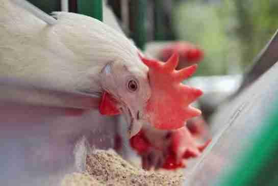 استفاده از پودر جوجه فراوری شده در تغذیه مرغان تخمگذار