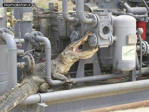 [عکس: big_crocodile_namakstan_ir_2.jpg]
