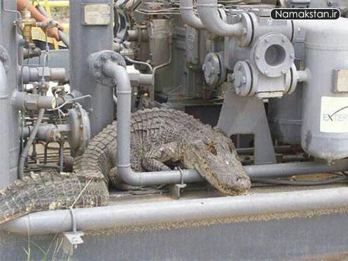 [عکس: big_crocodile_namakstan_ir_3.jpg]