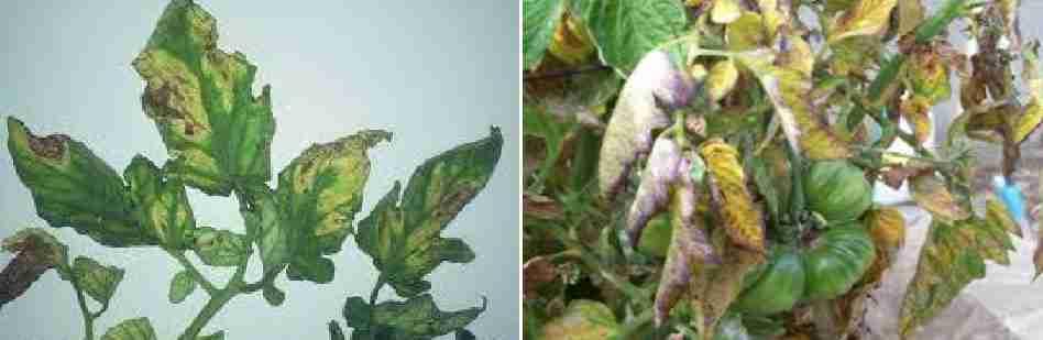 پژمردگی ورتیسلیومی (Verticillium wilt)